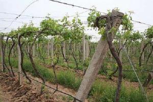 种植葡萄时怎么节水灌溉?都有哪些方法技巧?